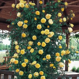 Graham Thomas David Austin Climbing Rose 6 Litre on Trellis