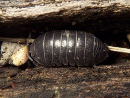 Greek Pillbug Isopod