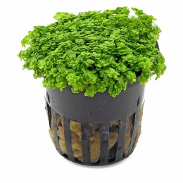 Hemianthus Micranthemoi Potted