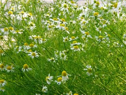 Herb Chamomile Lawn