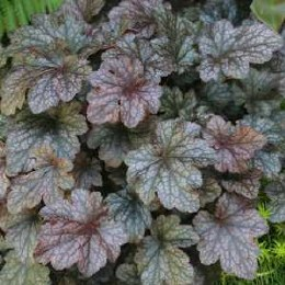 Heuchera 'Plum Pudding' - 2 Litre