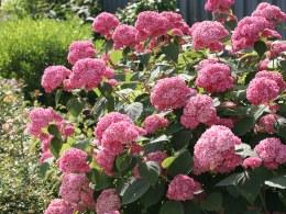 Hydrangea Arborescens Pink Annabelle 3 Litre