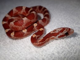 Hypo Diffused Corn Snake