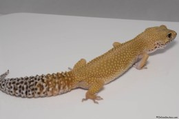 Hypo Leopard Gecko