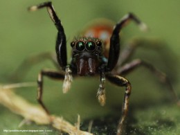 Indonesian Jumping Spider