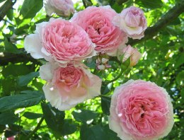 James Galway David Austin Rose - 4 Litre