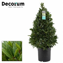 Laurus nobilis | Bay Laurel 90-100cm Pyramid