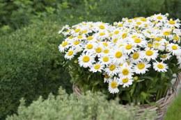 Leucanthemum LaGrande | Shasta Daisy