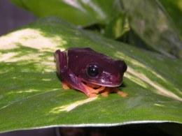 Melanistic Red eye Tree Frog