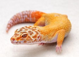 Morph Leopard Gecko