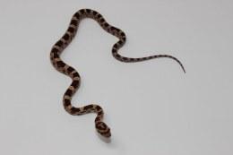 Hatchling Corn Snake