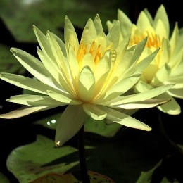 Nymphaea Sulphurea Water Lily  P11