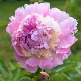 Paeonia lactiflora 'Raspberry Sundae'