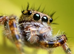 Eyelash Jumping Spiders - Sold as Pair