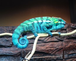 Chameleon Panther 'Nosy Be'