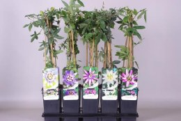 Passiflora mix 2 Ltr, 3 canes