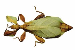 Walking Leaf Insect Rizal