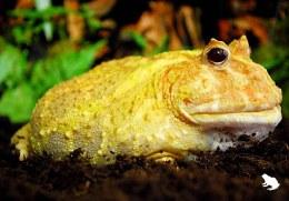 Pikachu Horned Frog
