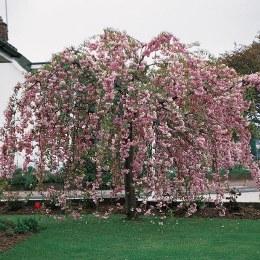 Prunus 'Kiku-shidare-zakura' - Japanese Weeping Cherry Blossom Tree