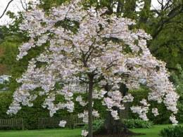 Prunus Shogetsu Oku Miyako - Japanese Flowering Cherry Blossom Tree