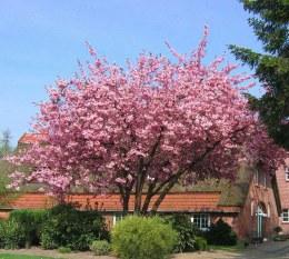 Prunus serrulata Kanzan | Cherry Blossom Tree 10 Litre