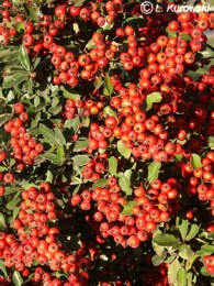 Pyracantha cocc.Red Column