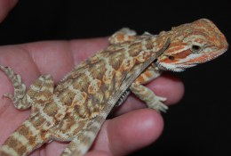 Red Hypo Tiger Bearded Dragon