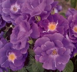 Rhapsody in Blue Floribunda Rose - 3 Litre