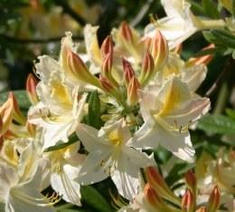 Azalea luteum daviesii