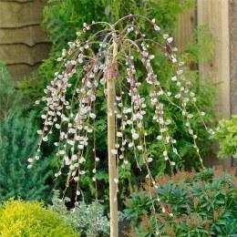 Salix Caprea Pendula  - Dwarf Weeping Kilmarnock Willow
