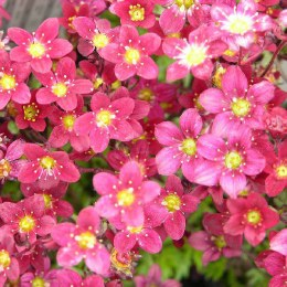 Saxifraga Highlander Red