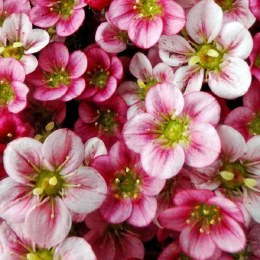 Saxifraga Highlander Rose Alpine in 9cm Pot