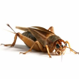 Crickets Silents Brown Large