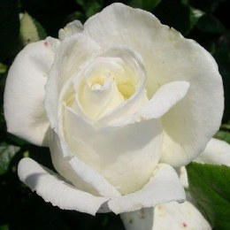 Silver AnniversaryHybrid Tea Rose - 5.5 Litre