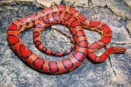Abbotts Okeetee Corn Snake