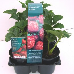 Strawberry Plants Six Pack