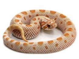 Toffee Belly Western Hognose Snake