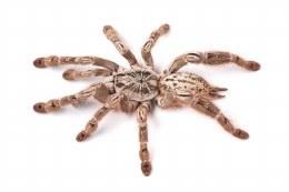 Togo Starburst Tarantula 1cm