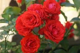 Trumpeter Floribunda Rose - 7.5 Litre