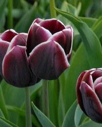 Tulip Alexander Pushkin 8 pack