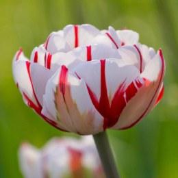 Tulip Double Carnaval de Nice