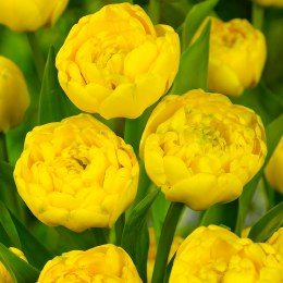 Tulip Double Yellow Pomponette