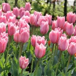 Tulip 'Albert Heijn' 10 pack