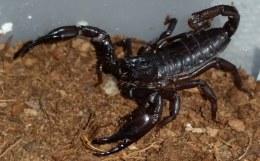 Vietnam Black Forest Scorpion