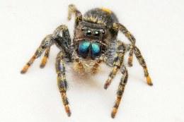 Malaysian Jumping Spider