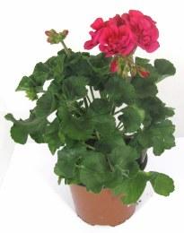 Geranium Deep Pink 13cm