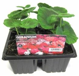 Geranium Mix 6 pack