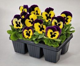 Pansy 6  Pack Yellow Purple Wing