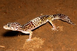 West Indian Leopard Gecko