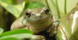 Tree Frog White's